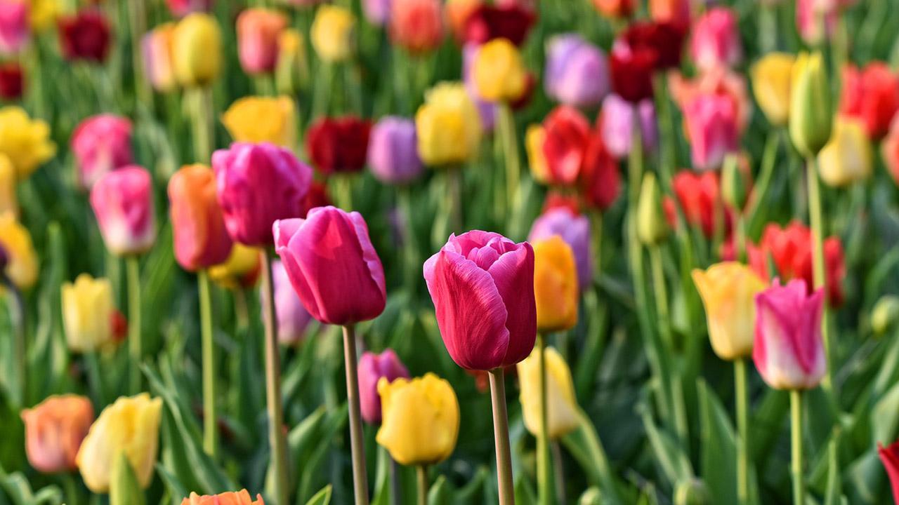 Keukenhof Tulip Tours (Only in season April – May)